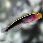 Yellow Line Goby, Captive-Bred