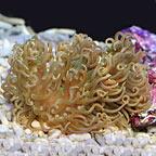 Long Tentacle Anemone