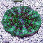 Plate Coral, Pinwheel