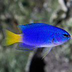 Similar Damselfish