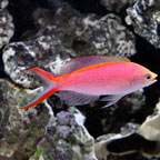 Anthias for sale sunburst lyretail and other anthias for Live saltwater fish for sale