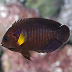 Yellowfin Angelfish