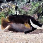 Tongan Black Foxface