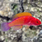 Red Velvet Fairy Wrasse