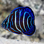 Annularis Angelfish, Juvenile, Captive Bred