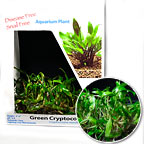 Green Cryptocoryne - Tissue Cultured
