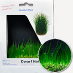 Dwarf Hairgrass - Tissue Cultured