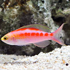 Central Pacific Anthias