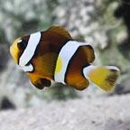 Pearl Eye Clarkii Clownfish, Captive-Bred