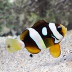 Galaxy Clarkii Clownfish, Captive-Bred