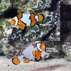Snow Onyx Clownfish, Captive-Bred