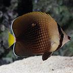 Tahitian Butterflyfish