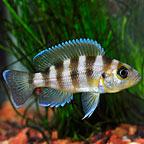 Gold Sexfasciatus Cichlid
