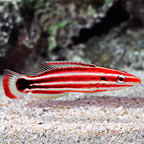 Pacific Redstripe Hogfish