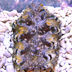 Hippopus Clam - Aquacultured