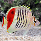 Red Sea Eritrean Butterflyfish