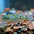 Brackish Figure 8 Puffer