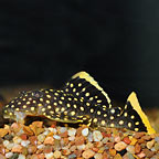 Gold Nugget (L-18) Plecostomus