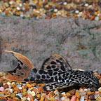 Redtail Leopard (L-114) Plecostomus