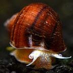 Albino Mystery Snail