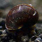 Black Mystery Snail