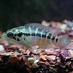 Managuense Cichlid