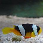 True Sebae Clownfish, Captive-Bred