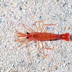 Peppermint Shrimp (Build Your Own Kit)