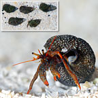 Dwarf Red Tip Hermit Crab (Build Your Own Kit) - 5 Pack