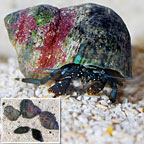 Dwarf Yellow Tip Hermit Crab (Build Your Own Kit) - 5 Pack
