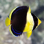 Scribbled Angelfish, Juvenile, Captive-Bred