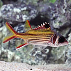 Squirrelfish Marine Fish
