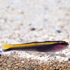 Yellowline Goby, Captive-Bred ORA®