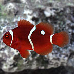 Gold Dot Maroon Clownfish, Captive-Bred ORA®