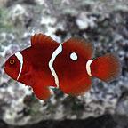 Gold Dot Maroon Clownfish, Captive-Bred ORA®