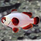 Gold Nugget Maroon Clownfish, Captive-Bred ORA®