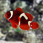 Goldflake Maroon Clownfish, Captive-Bred ORA&reg