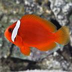 Tomato Clownfish, Captive-Bred ORA®