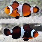 Caramel Clownfish, Captive-Bred ORA®