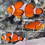 Ocellaris Clownfish, Captive-Bred ORA®
