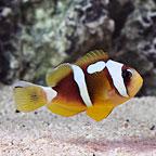 Spotcinctus Clownfish, Captive-Bred ORA®