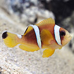 Red Sea Two-band Clownfish, Captive-Bred ORA®