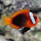 Cinnamon Clownfish, Captive-Bred ORA®