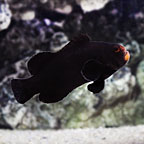 Midnight Clownfish, Captive-Bred ORA&reg