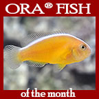 Orange Skunk Clownfish, Captive-Bred ORA®