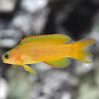 Yellow Assessor Basslet, Captive-Bred ORA®