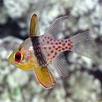 Pajama Cardinalfish - Captive-Bred Biota