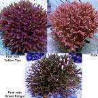 Birdsnest Coral