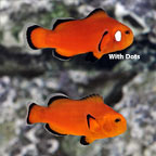 Naked Ocellaris Clownfish, Captive-Bred ORA®