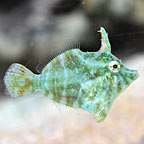 Radial Filefish, Captive-Bred ORA®